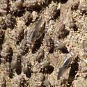 Woodlice herds? - Cerastipsocus venosus