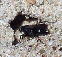 Wasp and Neoscona crucifera - Episyron - female