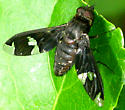 Progressive Bee Fly  - Exoprosopa decora