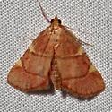 unknown moth  - Hypsopygia olinalis