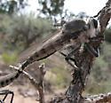 Robber fly - Promachus nigrialbus