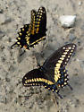 Eastern Black Swallowtails? (Papilio polyxenes) ? - Papilio polyxenes - male