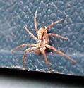Running Crab Spider - Philodromus dispar - male