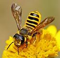 Megachile - Megachile fidelis - female