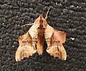 Sphinx moth - Paonias excaecata