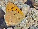 Purplish Copper - Lycaena helloides
