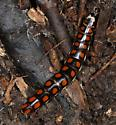 black larva with big orange spots - Phengodes