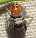 Phidippus californicus? - Phidippus