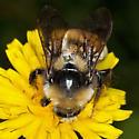 Bumble Bee IMG_2385 - Bombus borealis