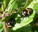 Two Leaf Beetles - Labidomera clivicollis