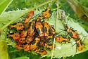 Large Milkweed Bug nymphs - Oncopeltus fasciatus