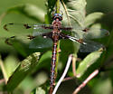 Prince Baskettail - Epitheca princeps - male