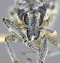 Scaphomorphus