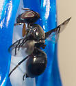 Signaling fly - Rivellia
