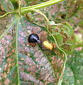 Stink bug nymph praying on Mexican bean beetle larva - Epilachna varivestis