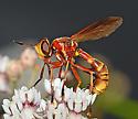 Conopinae on milkweed - Physoconops townsendi - female