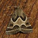 moth ID - Schinia rivulosa