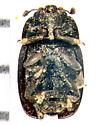 Nitidulidae, Pollen Beetle, ventral - Fabogethes nigrescens