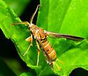 Moth-wasp mimic - Vitacea polistiformis