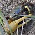 Atlantic Marsh Fiddler Crab - Uca pugnax - male