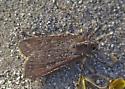 Anza Borrego Moth - Peridroma saucia