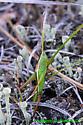 Katydid - Conocephalus - female