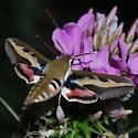 Galium Sphynx Moth - Hyles gallii