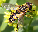 Syrphid at home in New Brunswick - Helophilus obscurus - female