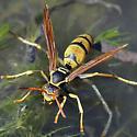 Paper Wasp, Polistes aurifer - Polistes aurifer - female