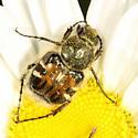 Trichiotinus piger? - Trichiotinus affinis