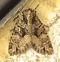 Adorable Brocade - Platypolia mactata