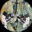 Antlion - Glenurus gratus