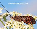 day feeding moth-like black orange -  Oligostomis pardalis ? - Oligostomis pardalis