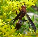 wasp - Polistes metricus - male