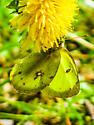 Clouded Sulphur - (Colias philodice) - Colias philodice