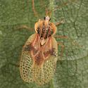 Linden Lace Bug - Gargaphia tiliae