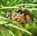 ? drone fly - Eristalis tenax - male - female