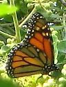 Monarch in fall - Danaus plexippus - male