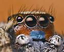 Habronattus male - Habronattus luminosus - male
