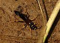Solitary Wasp - Sceliphron caementarium
