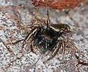 Tiny jumper - Sassacus vitis