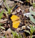 Annaphila miona