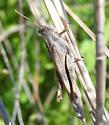 grasshopper - Schistocerca nitens - male