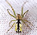 which spider? - Leucauge venusta