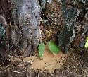 Ant & Sawdust - Camponotus pennsylvanicus