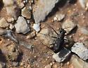 Beetle - Cicindelidia ocellata