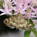 Spotted Beet Webworm Moth - Hymenia perspectalis