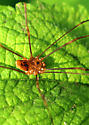 Looks first like Daddy Long Legs, but up close looks a bit different
