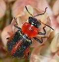 Collops granellus? - female