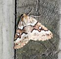 Gray Spruce Looper - Caripeta divisata - male
